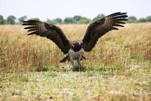 Marschall Eagle. Mondjila Safaris
