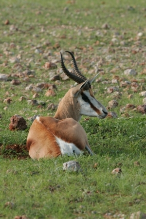Peacefull Springbok