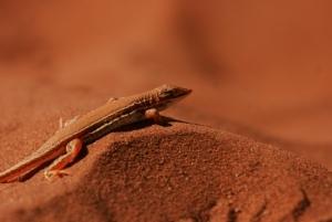 Shovelsnouted Lizard
