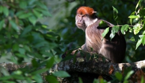 Red Colobus monkey in tree