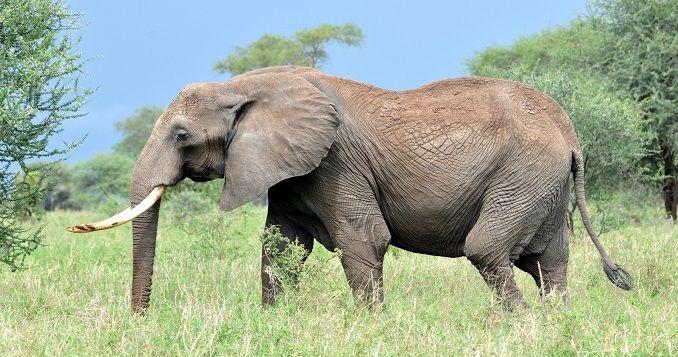 Nigerian Elephant