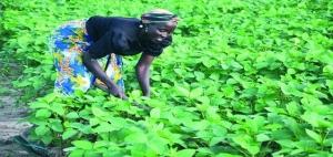 Soyabean field in Borno