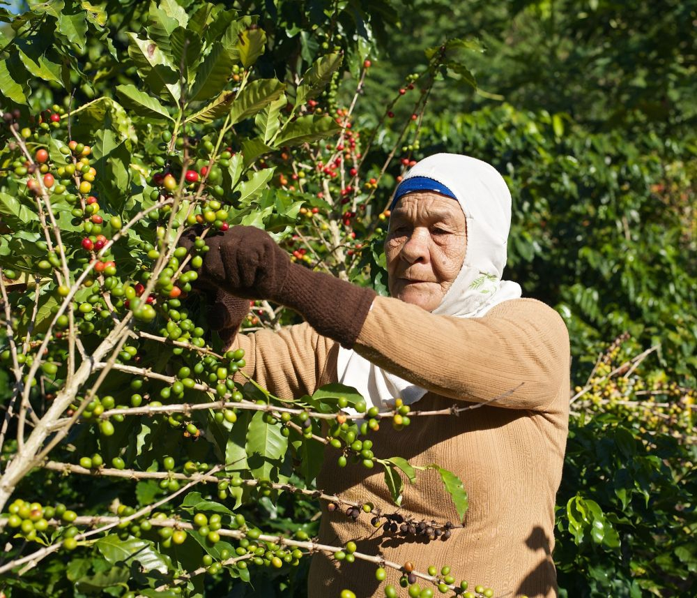 Woman Harvesting Coffee
