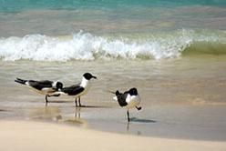 Sea Birds on Flamenco Beach