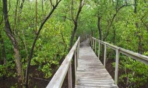 Boardwalk through Mangrove Forest in Porta del Sol