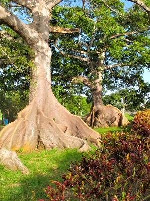 Ceiba Trees near Quebradilla, Puerto Rico