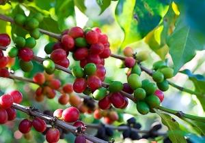 Coffee Berries in Jayuya