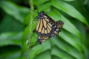 Pair of Butterflies in Puerto Rico
