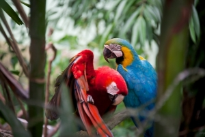 Pair of Parrots in Puerto Rico