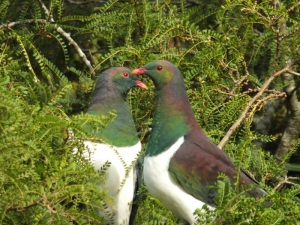 Native Wood Pigeons, Milford Sound Tour