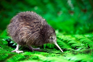 Kiwi Chick, Rainbow Springs