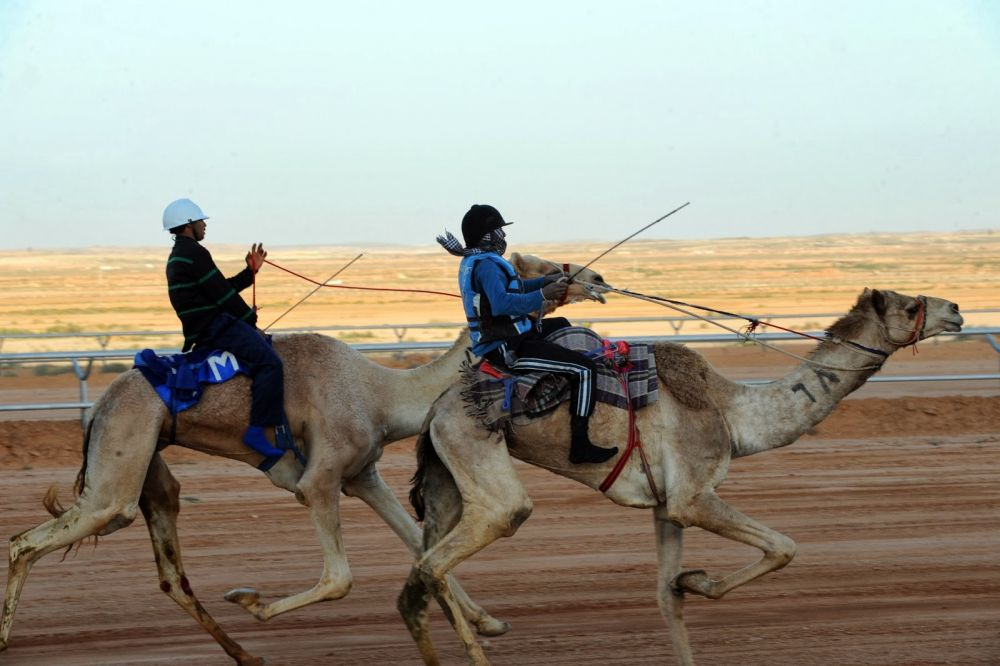A traditional camel race