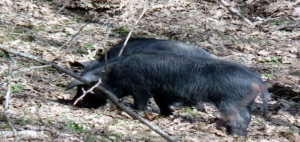 black Nebrodi pig by Luigi Strano