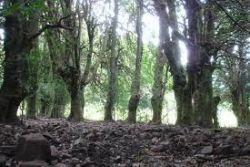 Giant Holly Trees, Piano Pomo, Madonier Mountains, Sicily