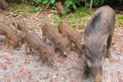 Cute Boar family on Pulau Ubin