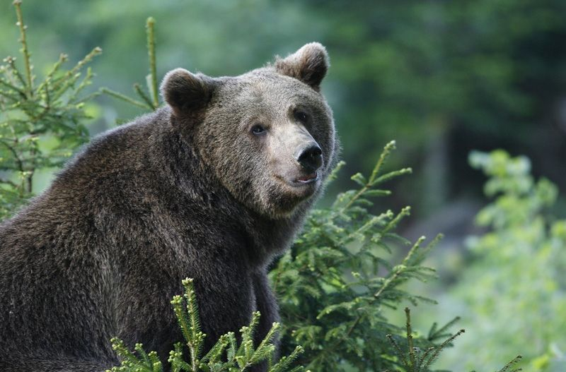 Brown Bear; Credits: Slovenia.info; Author: Bobo