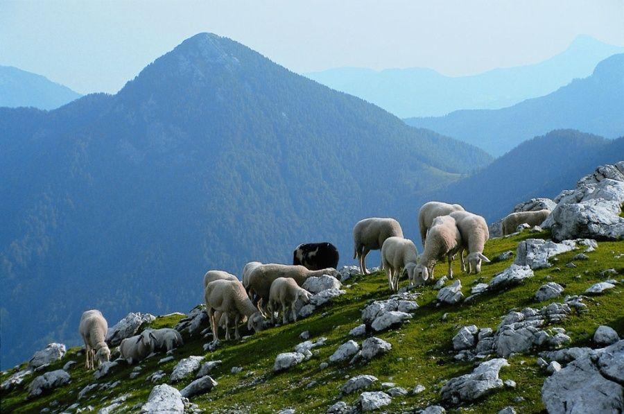 Slovenian Sheep; Credits Slovenian-Alps.com