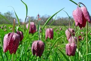 Mocvirski tulipan; S: Slovenia.info; A: D. Wedam