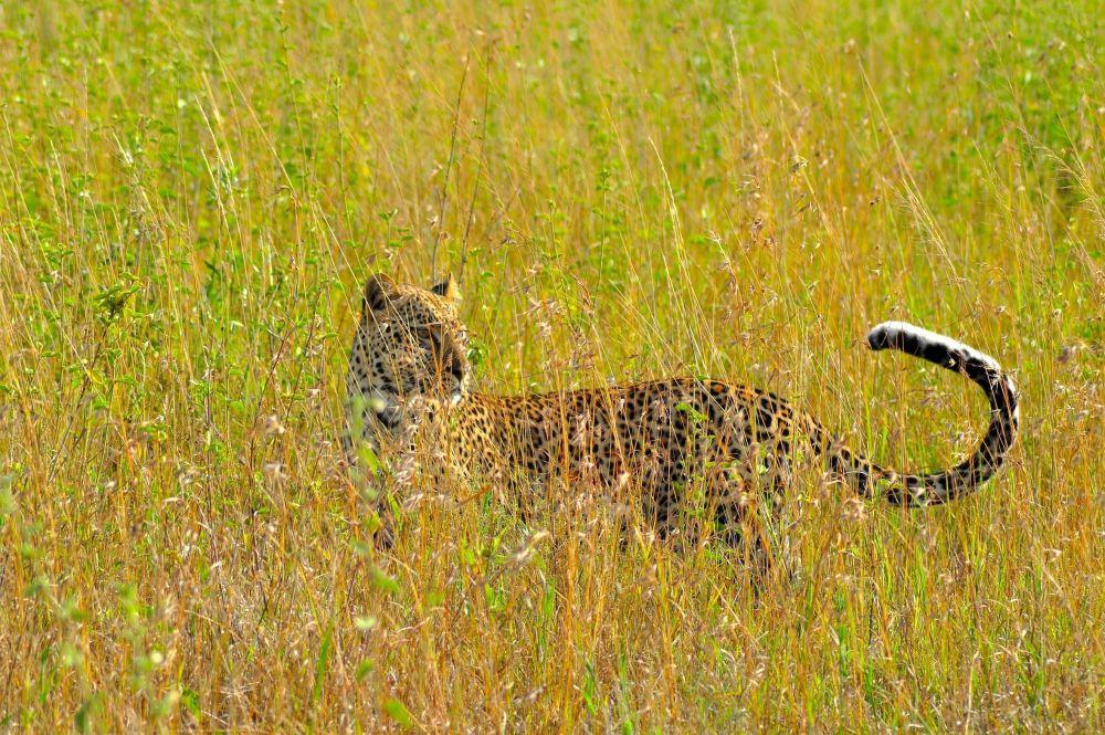 Leopard. Photo: Iain Beable