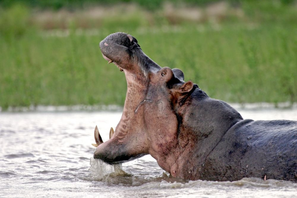 Hippo at Selous Game Reserve