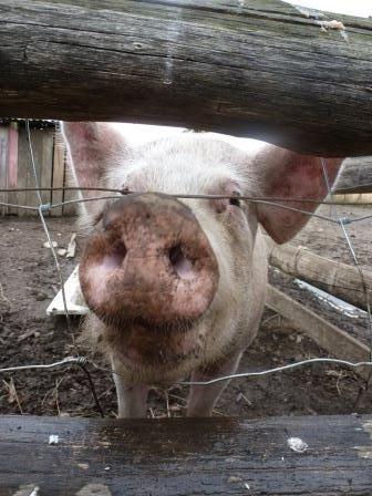 Pricilla the pig