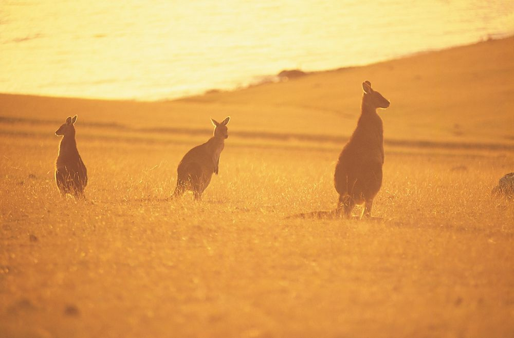 Forrester Kangaroos (Credit: Tourism Tasmania & George Apostolidis)