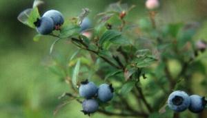 Tassie Blue Blueberries