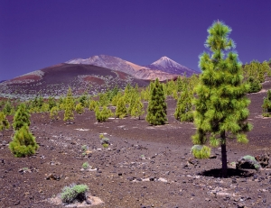 Pine forests of Teide National Park