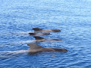 Tenerife's whales and dolphins