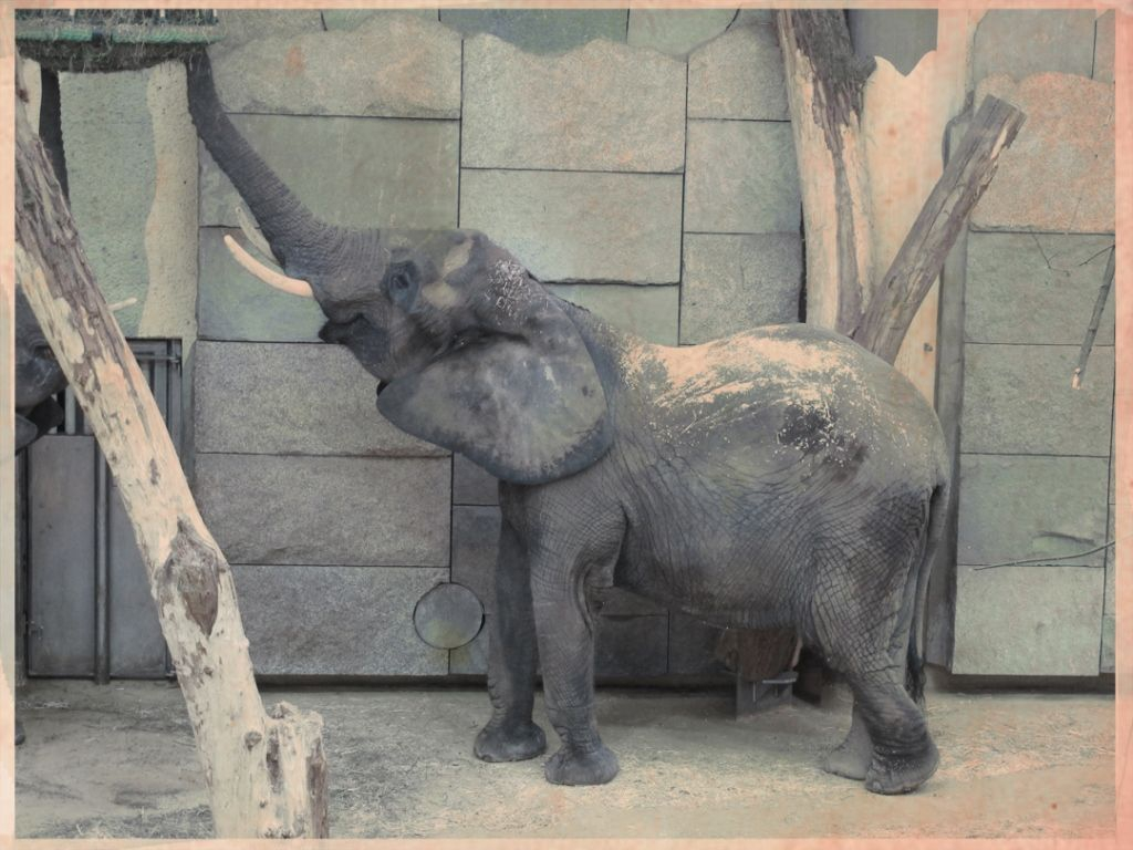 An elephant in the Vienna State Zoo