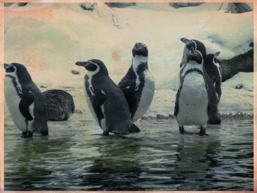 The penguins enjoy the cold at Vienna State Zoo