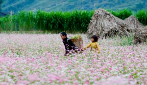 Tam Giac Mach Flower Festival in Ha Giang Province