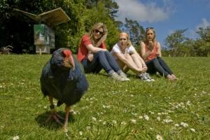 Visitors - takahe at Zealandia © Shaun Matthews