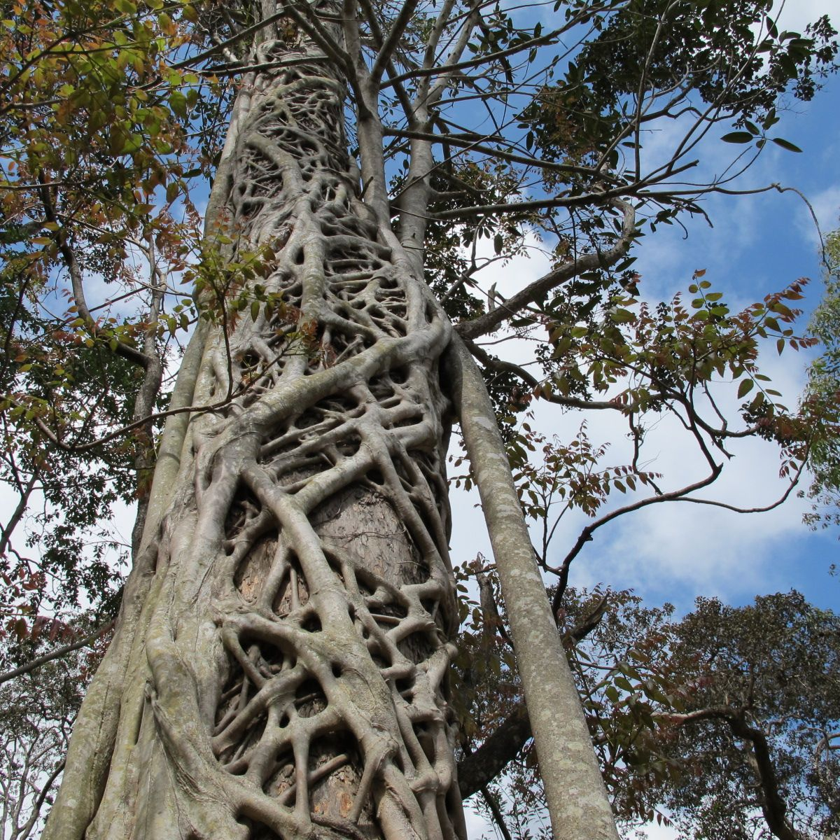 Tree at Eungella National Park