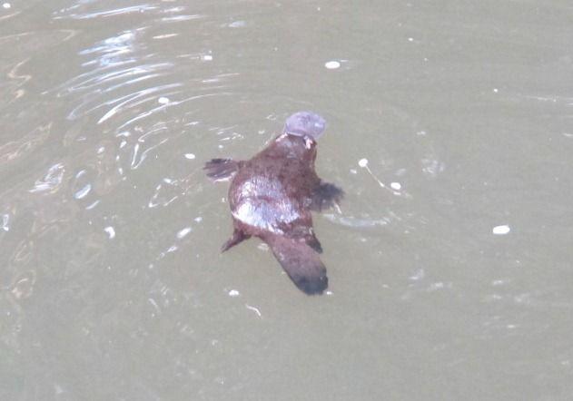 Eungella National Park Platypus