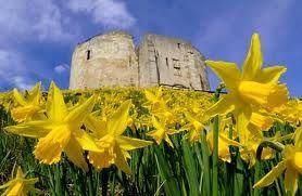Daffodils on Clifford