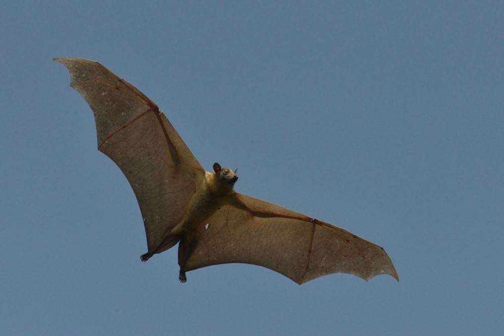 Staw Coloured Fruit Bat (photo Chris Meyer)