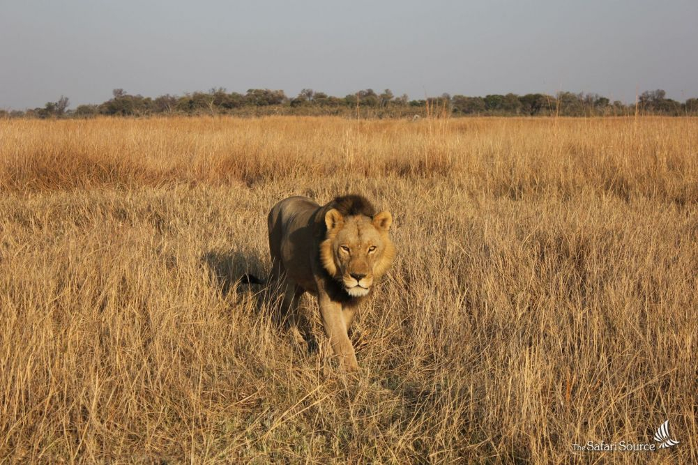 A Lion Peaceful Passing An Open Safari Vehicle
