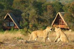 Antelope Park Gweru - Lions by Camp