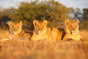 Antelope Park Gweru - Lions