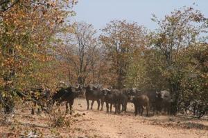 Buffalos, Gonerazhou National Park, Lowveld