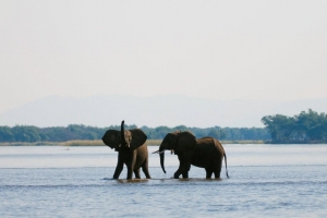 Elephants Zambezi River