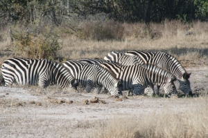 Mana Pools Zebra